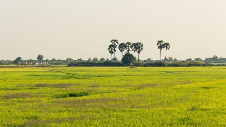 Cambodia's_rice_fields